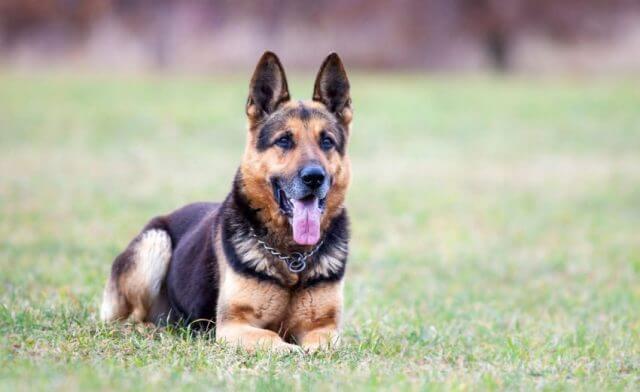 Short Haired German Shepherd 6