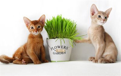Small Abyssinian