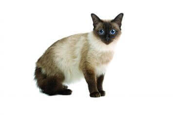 Small Balinese Cat