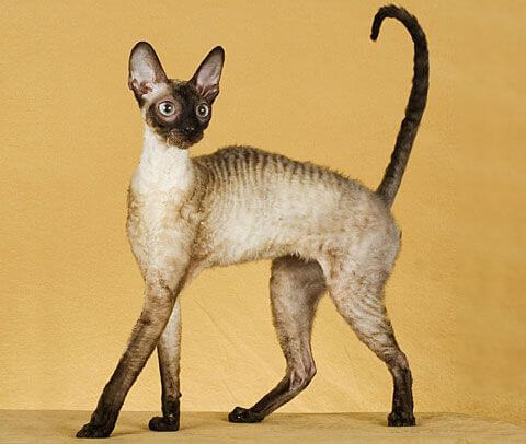 Small Cornish Rex Cat