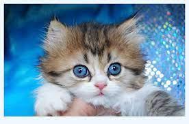 Small Minuet cat