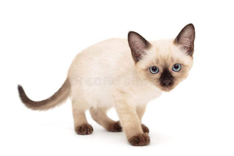 Small Siamese Cat