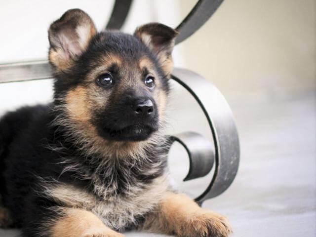 best german shepherd puppy