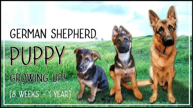 german shepherd growth stages 2