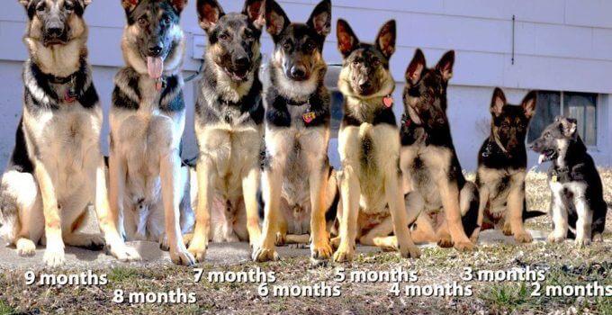 german shepherd growth stages