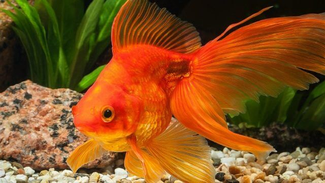 golden rules of gold fish care