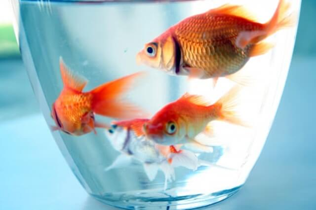 goldfish care tips 2