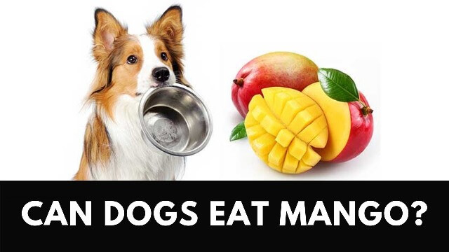 Can Dogs Eat Mango 4