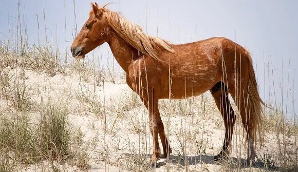 Colonial Spanish Mustang