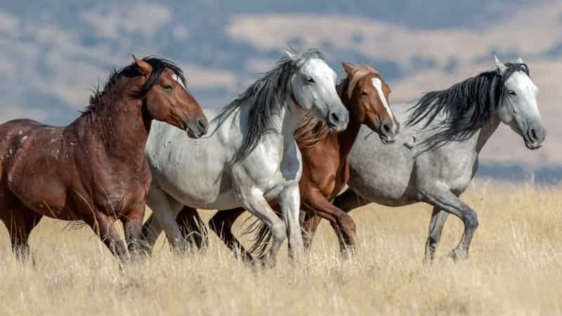 Mustang Horse History and Origins