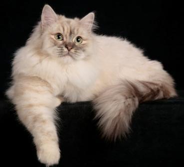 Ragamuffin Cat Breed 1