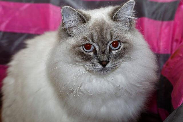 Ragamuffin Cat Breed 2