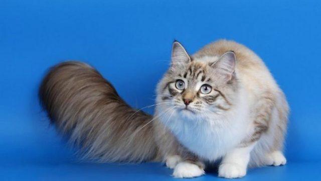 Ragamuffin Cat Breed 5
