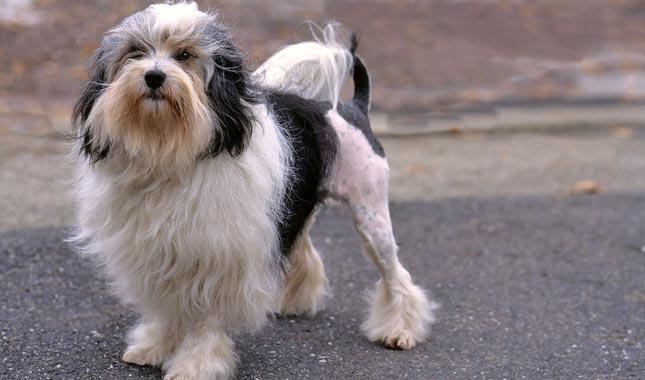 lowchen dog 1