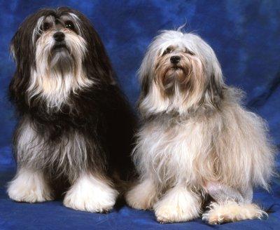 lowchen dog 2