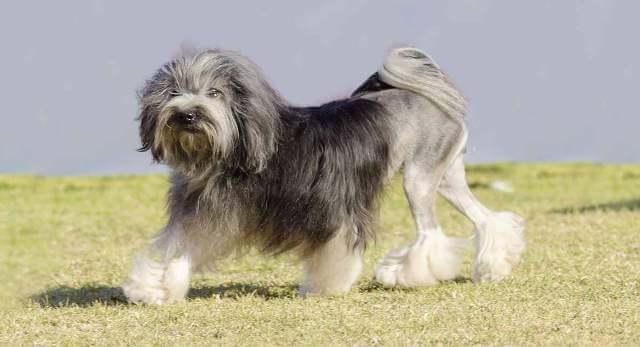 lowchen dog 3