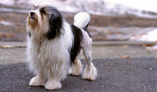lowchen dog breed 1