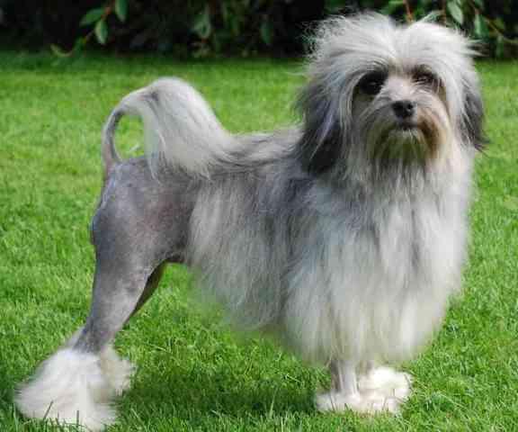 lowchen dog breed 2