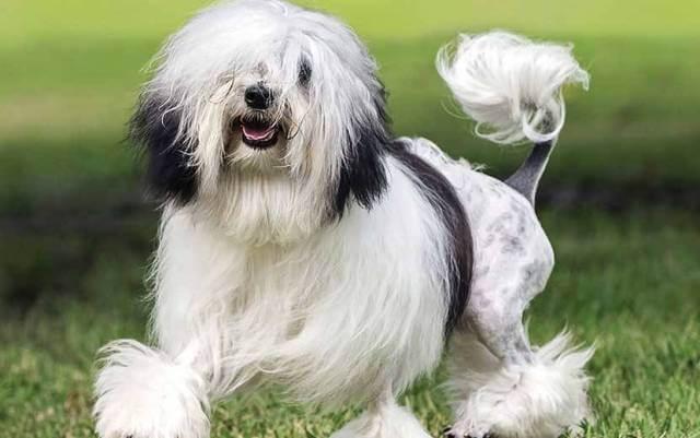 lowchen dog breed 3
