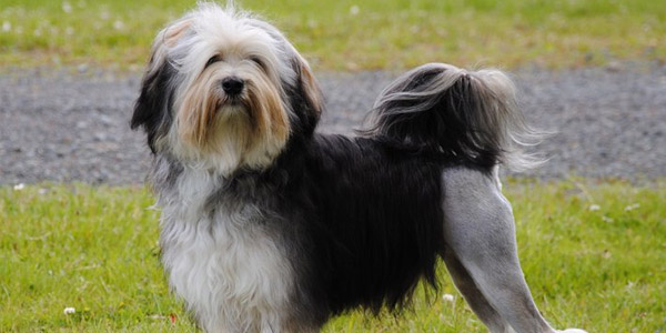 lowchen dog breed 4