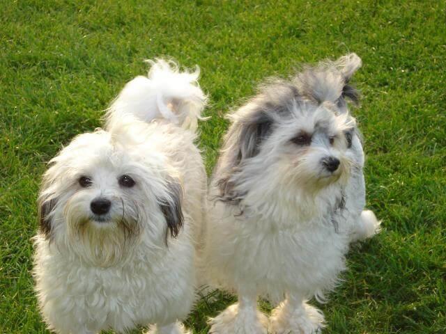 lowchen dog breed 5
