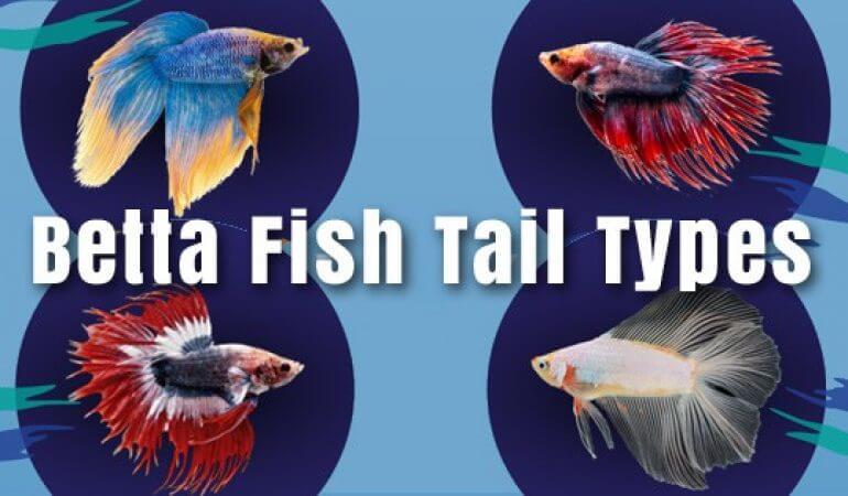 types of betta fish 2