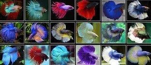 types of betta fish 4