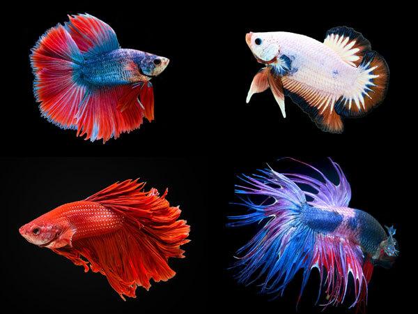 types of betta fish