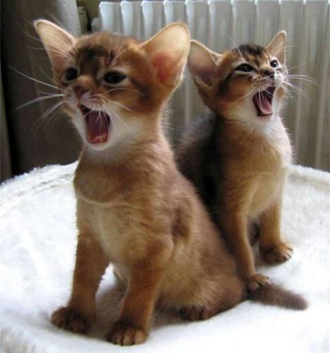 Abyssinian cute cat