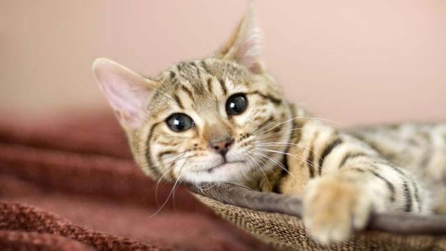 American bobtail cute cat