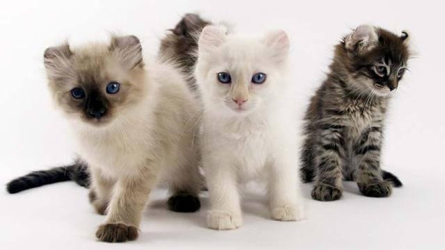 American curl cute cat