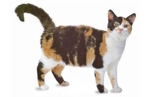 American wirehair cute cat