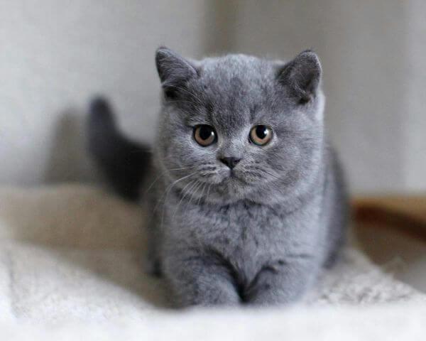 British shorthair Cute Cat