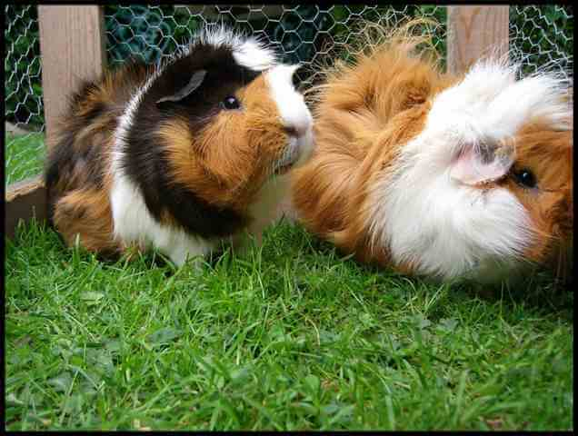 Care for Guinea Pigs 1