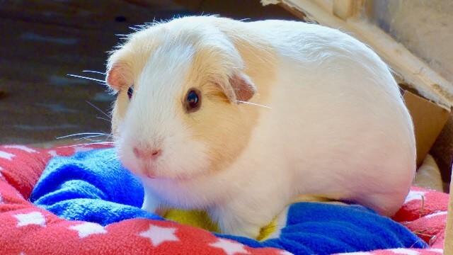 Care for Guinea Pigs 2