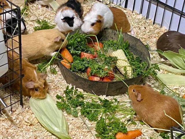 Care for Guinea Pigs 3