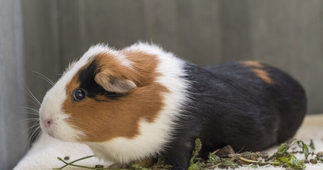 Care for Guinea Pigs 5