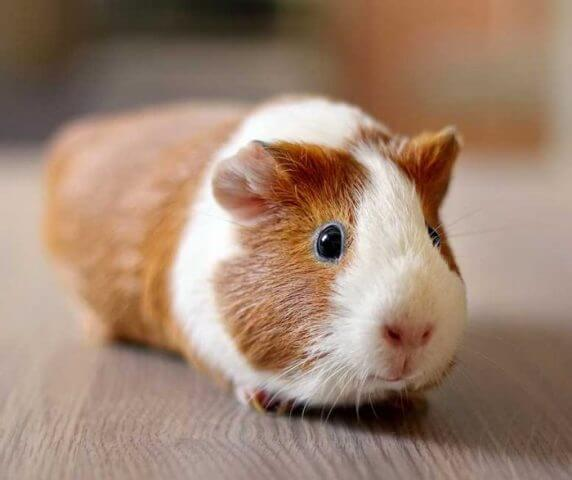 Care for Guinea Pigs 6