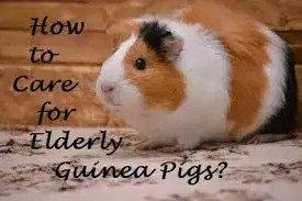 Care for Guinea Pigs 8