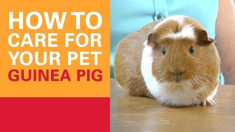 Guinea Pig Care 1