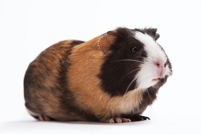 Guinea Pig Care 2