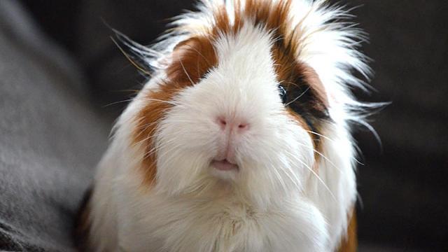 Guinea Pig Care 3
