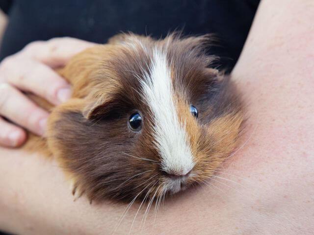 Guinea Pig Care 4