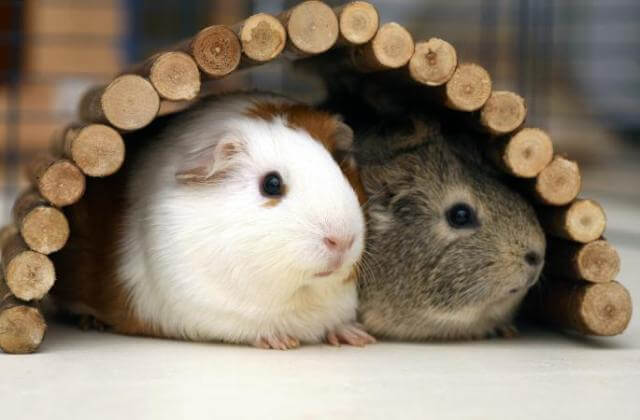 Guinea Pig Care 8
