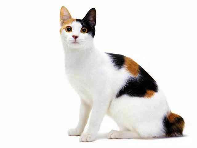 Japanese Bobtail Cat Breeds