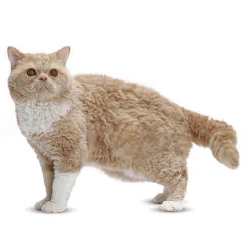 Selkirk Rex Cat 6