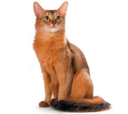 Somalia Cats