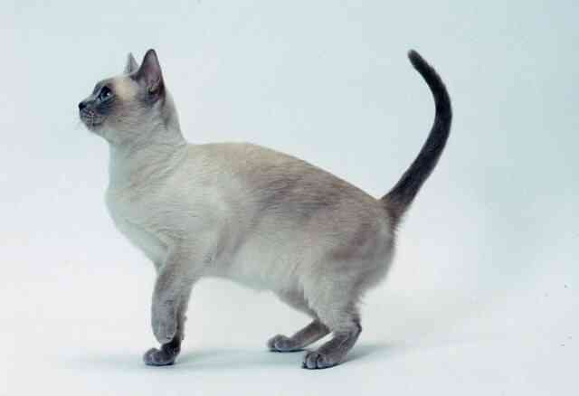 Tonkinese Cat Breeds