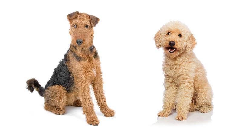 airedoodle dog Breeds