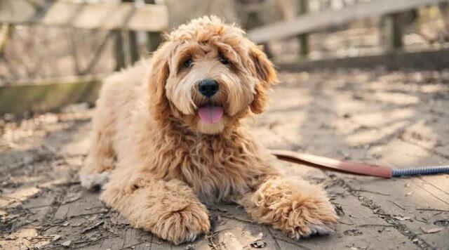 eskipoo dog 1